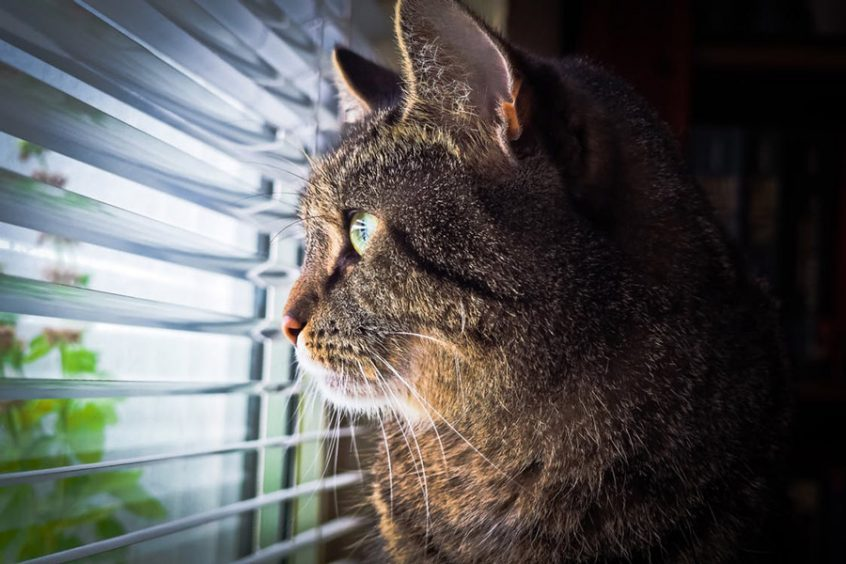 Cat Looking Through Blinds - blinds idaho falls